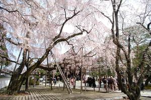 醍醐の桜2.JPG